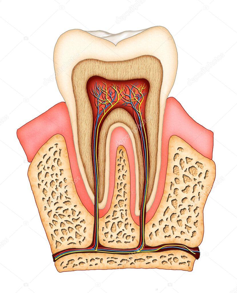 Anatomía dental — Foto de stock © Andreus #10075473