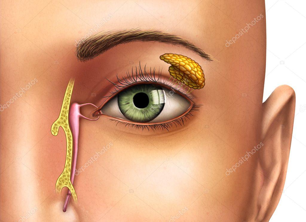 glándulas lacrimales — Foto de stock © Andreus #10400086