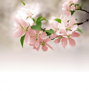 Pink flowers blossoming tree brunch deep bokeh