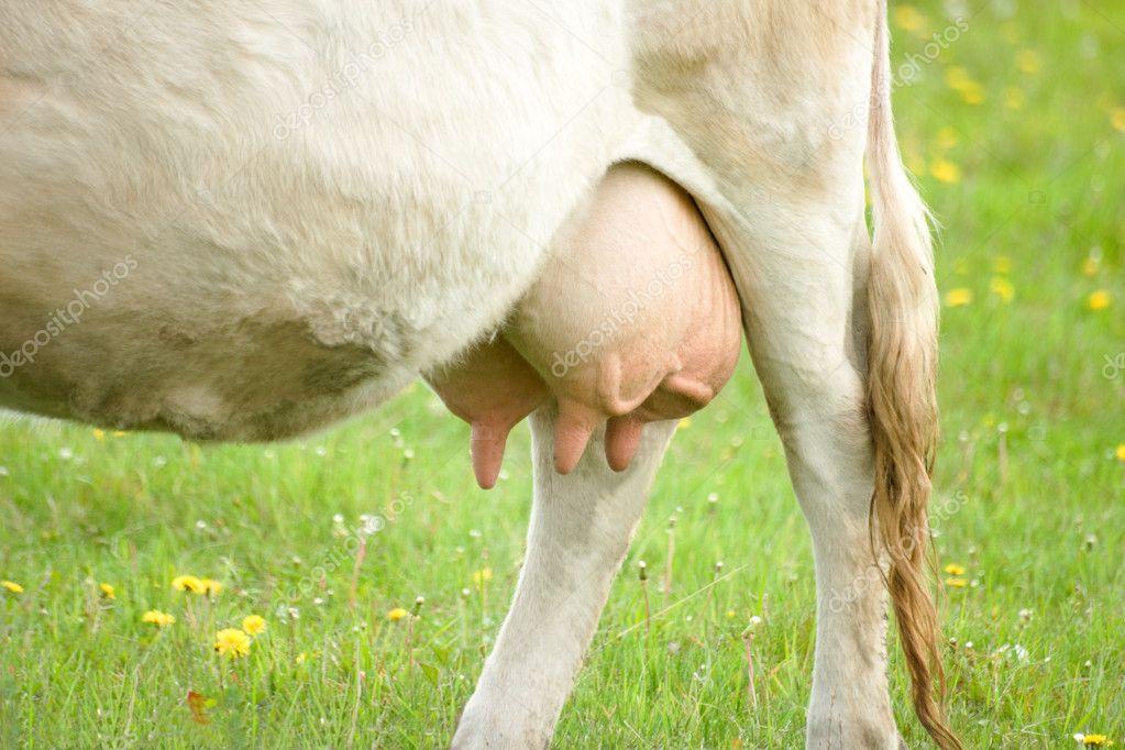 Cow udder