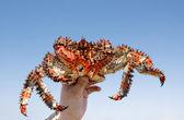 Fotografie Crab (Paralithodes brevipes (Miln - Edwards et Lucas)