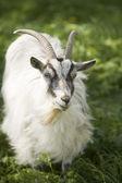 Photo Goat