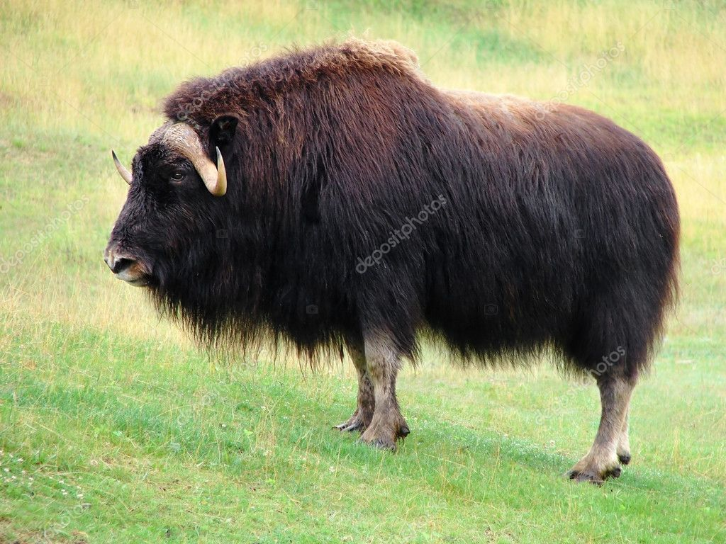 Male musk ox in the prairie