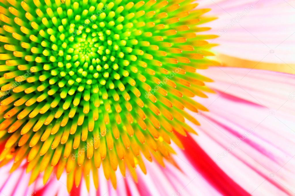 Neon echinacea or purple coneflower