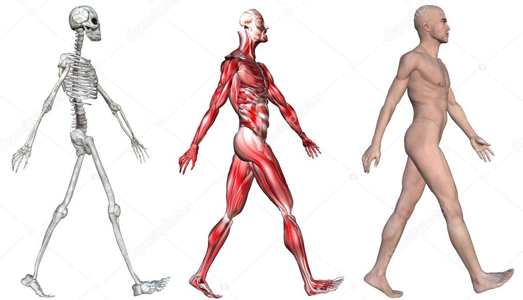 Skeleton Muscles Of A Human Male Stock Photo Michaeldb 8294952