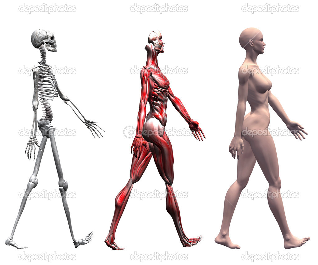 Skelett und Muskeln einer menschlichen Frau — Stockfoto © michaeldb ...