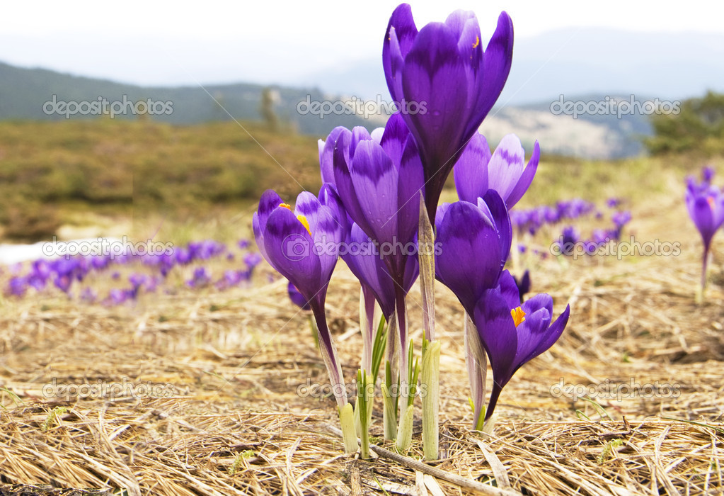 Flowers purple crocus, spring landscape