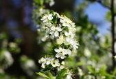 Jablko větev stromu s květinami