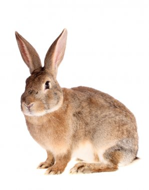 Brown rabbit, isolated.