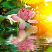 Fotografie Lotus