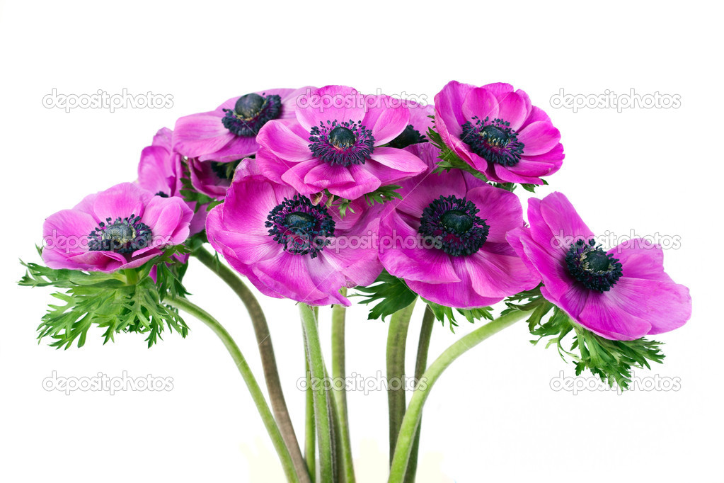 Beautiful purple anemone flower