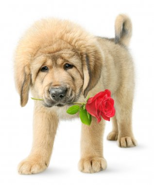 Tibetan mastiff puppy with red rose