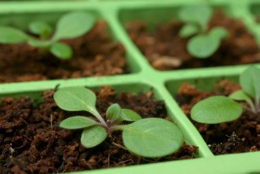 Petunia seedlings in the cell tray (shallow depth of field, copy