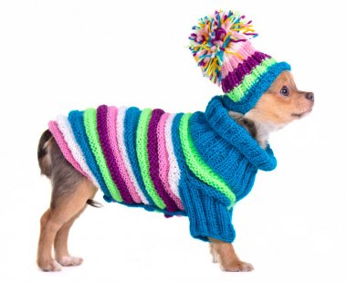 Chihuahua puppy dressed with handmade colorful sweater and hat, isolated on