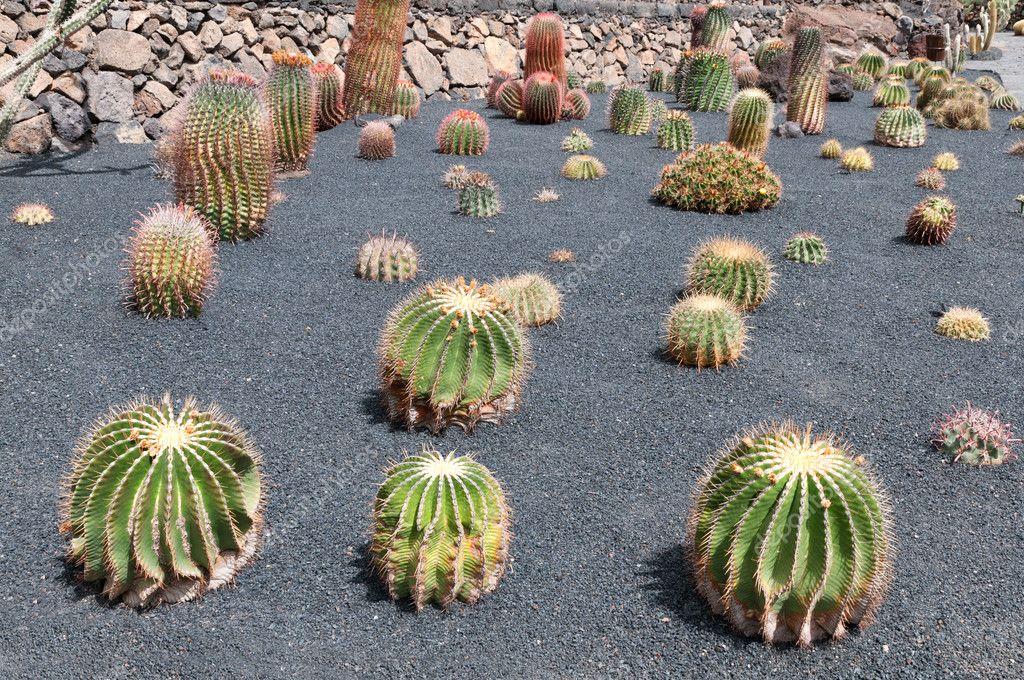 cactus garden jardin de cactus guatiza lanzarote island spain u stock image