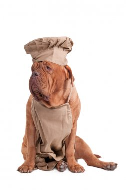 Dogue de bordeaux dressed like chef isolated on white background