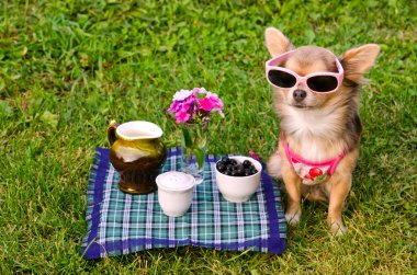 Little dog wearing pink t-shirt relaxing in meadow picnic