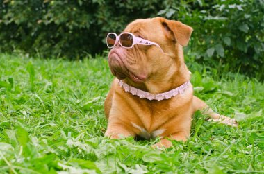 Dog of Dogue De Bordeaux breed wearing pink glasses and collar in summer ga