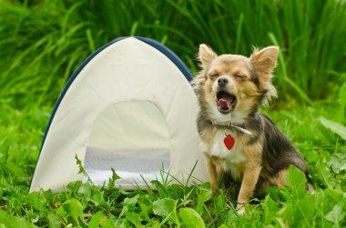 Yawning chihuahua dog sitting near camping tent