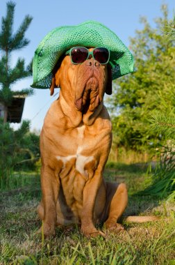 Dog with hat and glasses in the garden