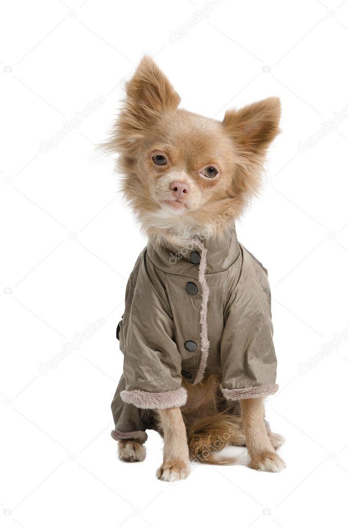 — Chihuahua © Vitalytitov9090458 Mantel Mit Stockfoto iOPXkZu