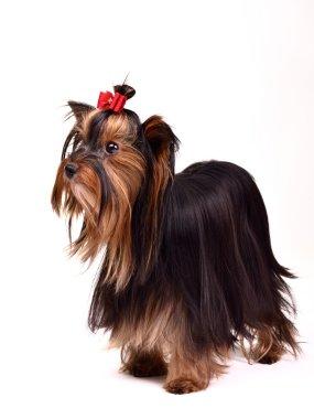 Precious Yorkshire Terrier