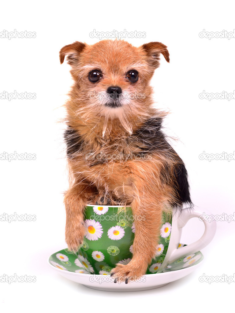 Pictures Teacup Pomeranian Puppies Tiny Dog Hiding In Tea Cup Stock Photo C Vitalytitov 9183720