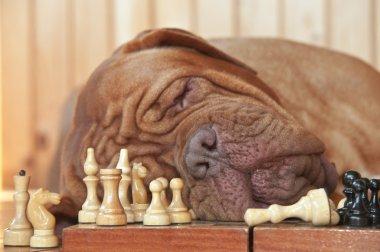 Dog Grand Master sleeping