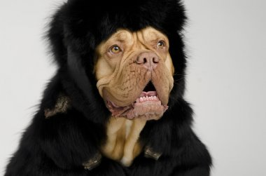 Dog wearing fur coat and cap with ear flaps