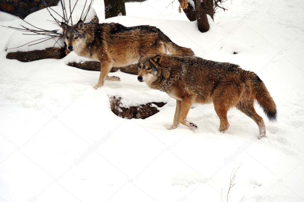 Beautiful wild gray wolfs in winter