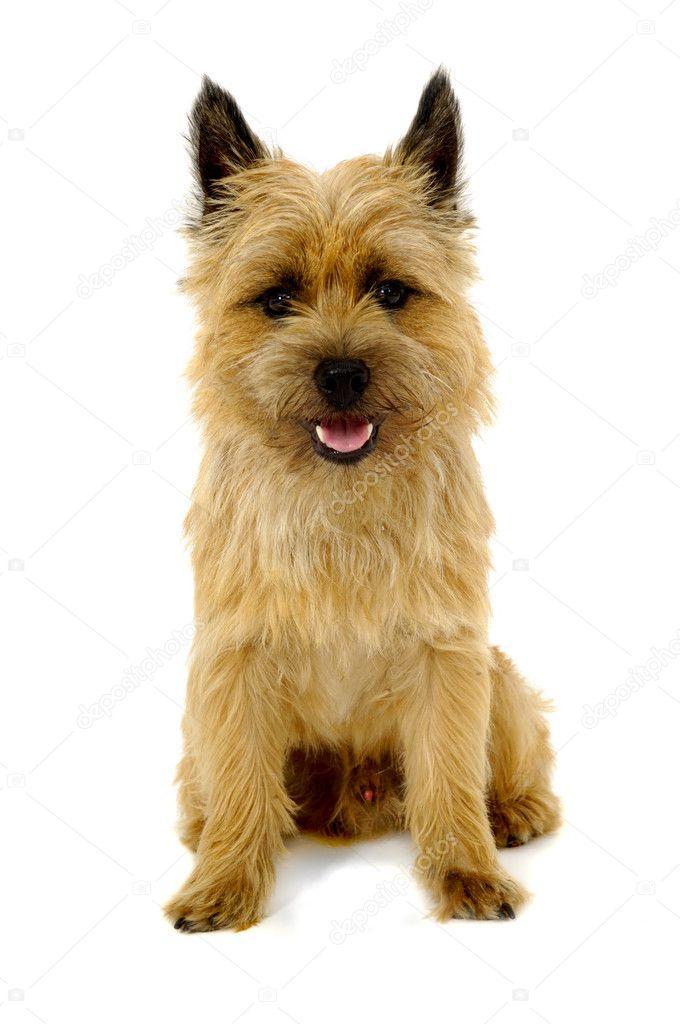 Happy Dog Cairn Terrier Stockfoto C Foto 8612026
