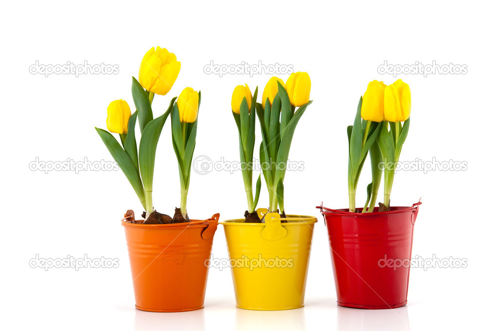 Yellow tulips in colorful pots