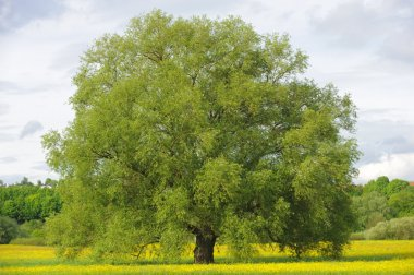 Big single willow tree