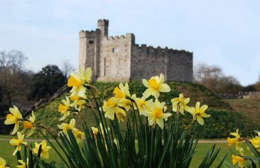 Cardiff Castle, in Wales, behind Daffodils, the Welsh national flower