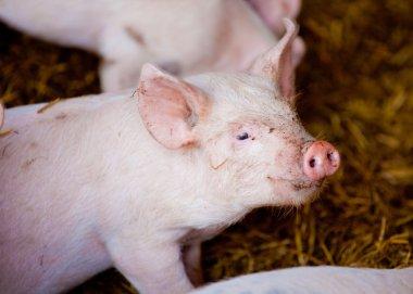 Cute little pink piglet