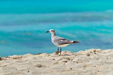 Seagull on the Caribbean beach