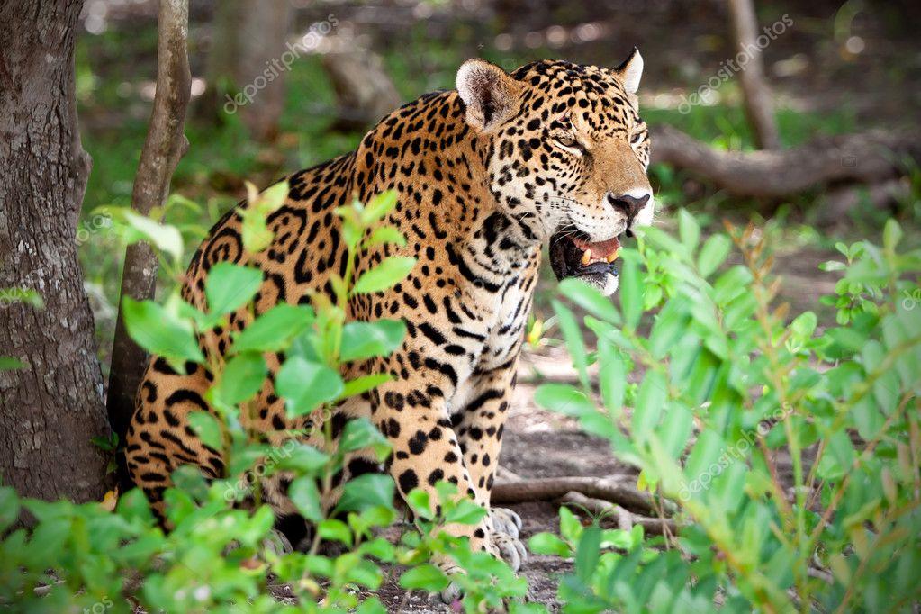 Jaguar in wildlife park
