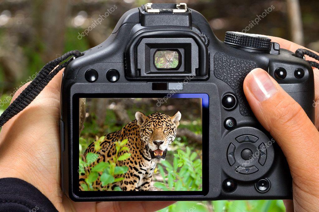 Shooting jaguar in wildlife