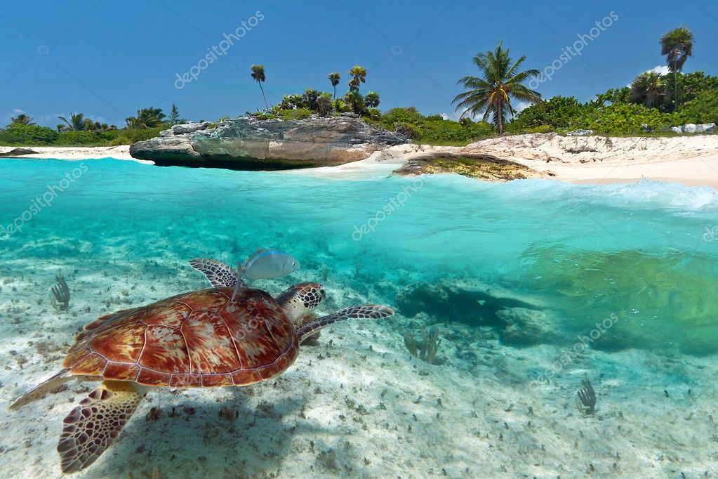 Caribbean Sea scenery with green turtle
