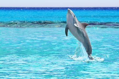Dolphin jumping of the Caribbean Sea