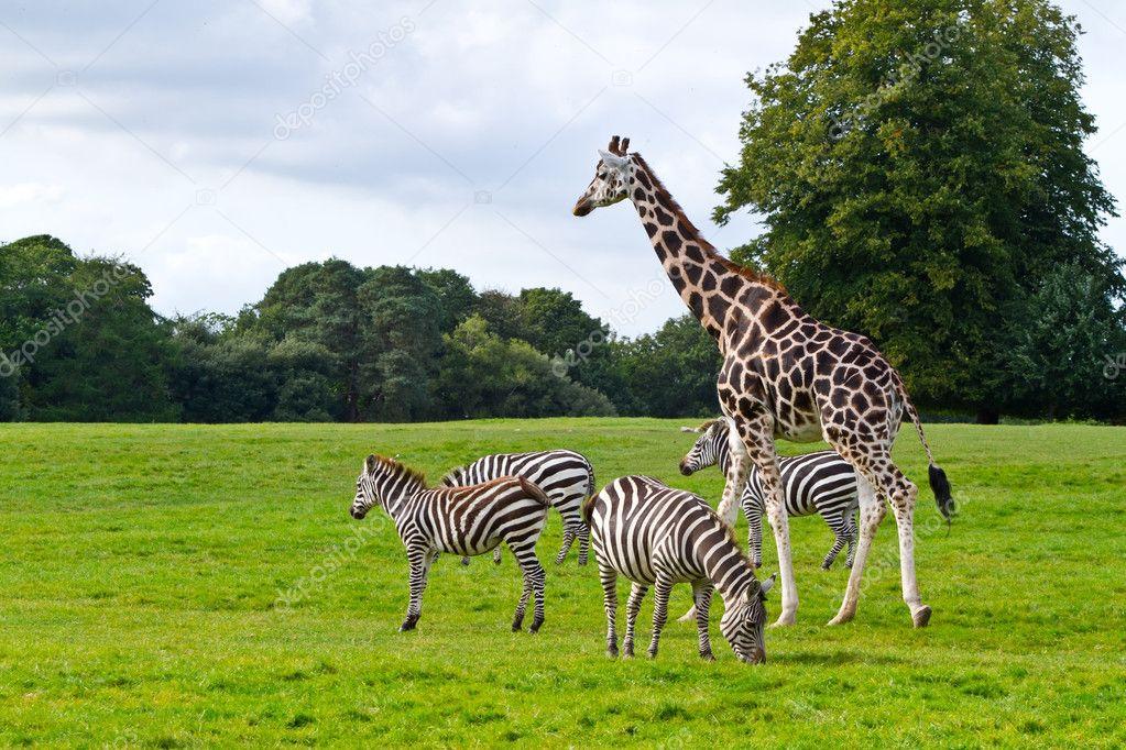 Zebras and giraffe in the wildlife
