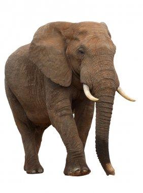 AfricanElephant Isolated