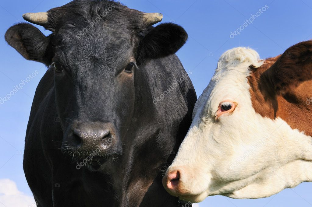 Black bull and his cow