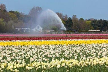 Multicolored flower field watering in Holland