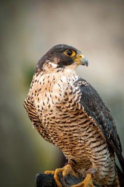 Peregrine Falcon Portrait Peregrine Falcon Portrait