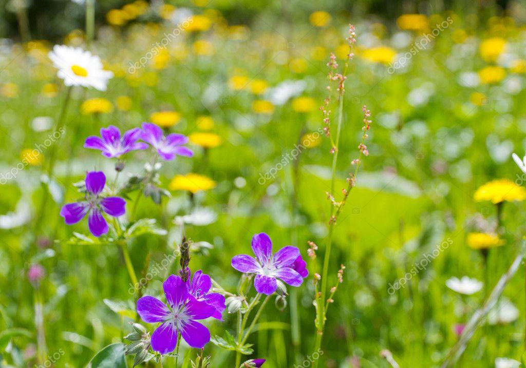 Prato di fiori di montagna — Foto Stock © mlehmann #8377466