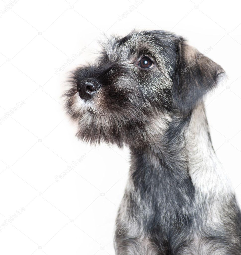 Funny schnauzer puppy