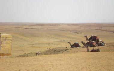 Camels resting in desert