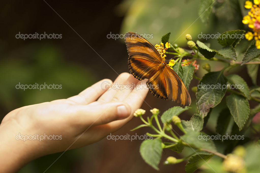 Child Hand Touching an Oak Tiger Butterfly on Flower