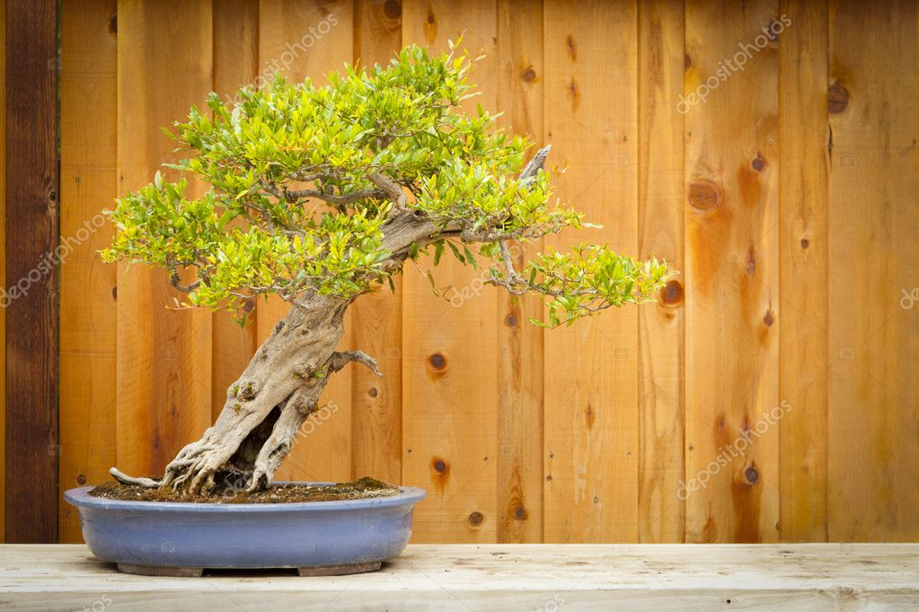 Pomegranate Bonsai Tree Against Wood Fence